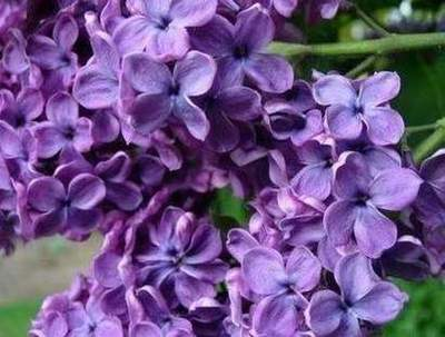 Lilac color and its impact on human